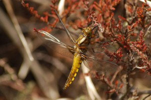 Teneral Male Broad Bodied Chaser