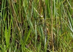 Fresh Emperor Dragonfly