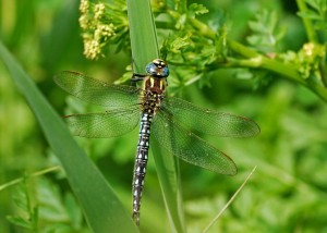 Male Hairy Dragonfly (Brachytron pratense)