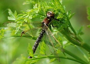 Female Hairy Dragonfly (Brachytron pratense)