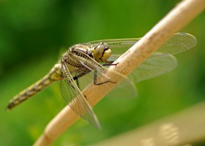 Freshly Emerged Hairy Dragonfly (Brachytron pratense)