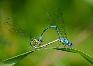 Azure Damselfly Mating Wheel