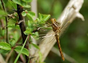 Teneral Female Keeled Skimmer