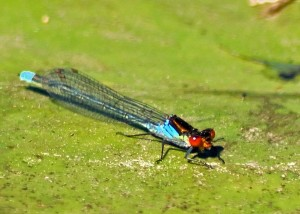 Large Red-eyed Damselfly