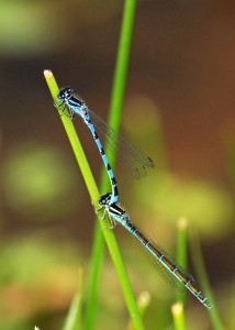 Mating Pair of Southern Damselflies