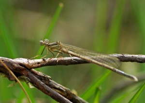 Teneral White-legged Damselfly