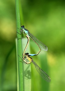 Mating Pair of Azure Damselflies