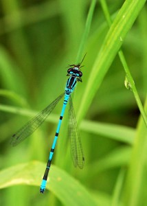 Azure Damselfly Feeding
