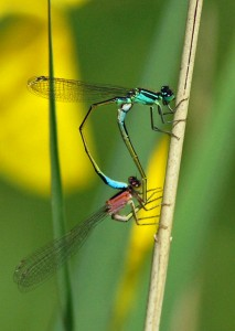 Mating Blue-tailed Damselflies