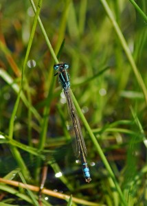 Male Scarce Blue-tailed Damselfly