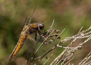 Young male Scarce Chaser