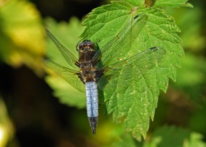 Mature male Scarce Chaser