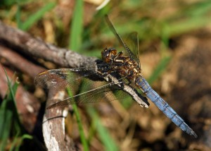 Mature Male Keeled Skimmer