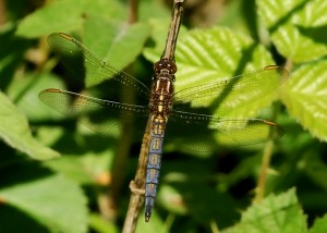 Immature Male Keeled Skimmer