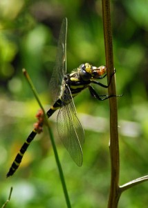 Golden-ringed Dragonfly Feeding
