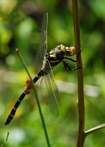 Golden-ringed Dragonfly Feeding