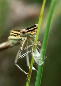Female White-legged Damselfly