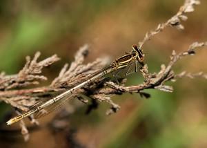 Female White-legged Damselfly