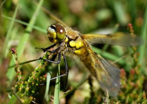 Teneral Four-spotted Chaser