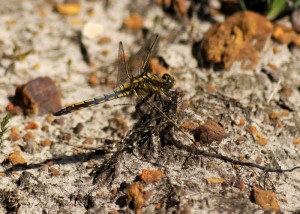 Unidentified - possibly Black-tailed Skimmer?