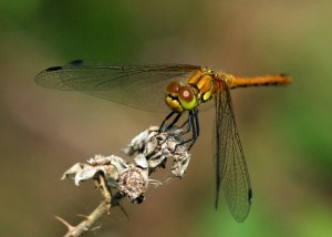 Immature Male Ruddy Darter