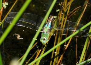 Ovipositing Female Emperor Dragonfly