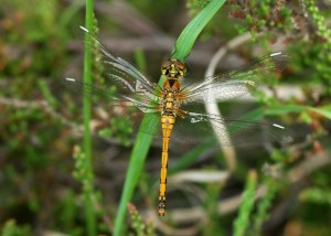 Immature Ruddy Darter