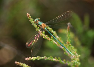 Female Emerald Damselfly