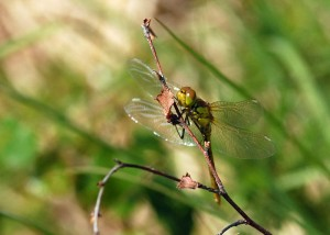 Freshly-emerged Ruddy Darter