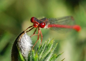 Male Small Red Damselfly