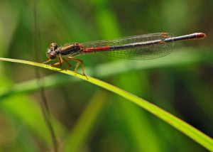 Female Small Red Damselfly