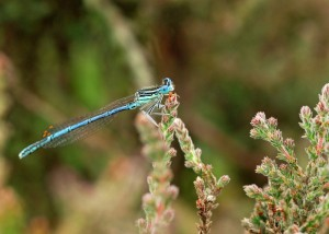 Male White-legged Damselfly