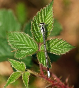Immature Common Blue Damselfly