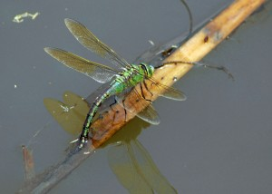 Ovipositing Female Emperor