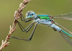 Male Emerald Damselfly Close Crop