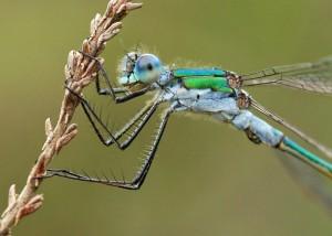 Male Emerald Damselfly Close Crop