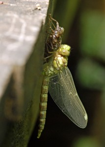 Freshly-emerged Southern Hawker