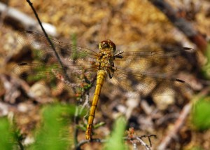 Immature Common Darter