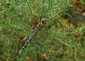 Young Male Southern Hawker
