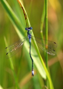 Malformed Emerald Damselfly