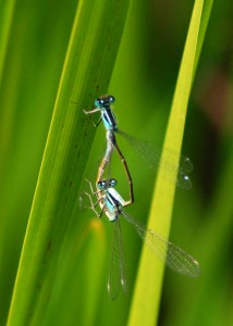 Mating Pair of Blue-tailed Damselflies