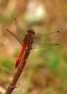 Mature Male Ruddy Darter