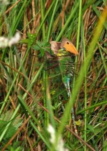 Female Emperor feeding on Meadow Brown Butterfly