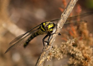 Immature Golden-ringed Dragonfly
