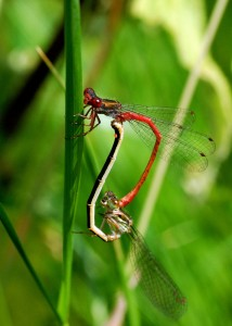 Mating Pair of Small Red Damselflies