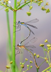 Mating Pair of Emerald Damselflies