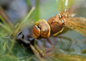 Ovipositing female Brown Hawker