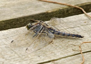 Female Black-tailed Skimmer