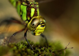 Female Southern Hawker