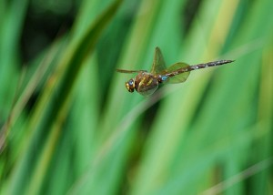 Male Brown Hawker